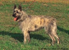 Formosan Mountain Dog For Sale Bc
