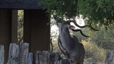 TOUCH this image: Kudu on my stoep - Xombana, Dinokeng by Xombana