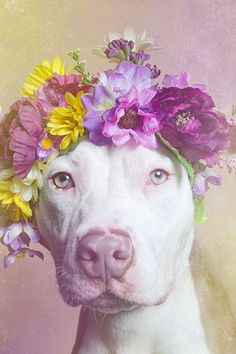 Photo by Sophie Gamand. Dharma the pit bull is currently available for adoption at Animal Haven.