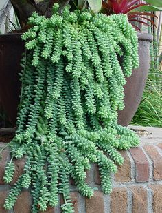 Sedum morganianum - burrow's tail. Wow a trailer that I assume doesn't require constant watering.