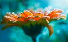 Water Drops On Orange Flower Wallpaper - http://www.gbwallpapers.com/water-drops-orange-flower-wallpaper/ ( / Nature)