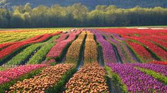 Agassiz Tulip Festival, Seabird Island, Canada. It is estimated that there are up to 30 different types of tulips with more than 40 colors.