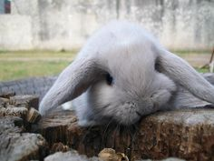 If you are searching for a furry friend which is not only adorable, but simple to have, then look no further than a pet rabbit. All Gods Creatures, Cute Creatures, Beautiful Creatures, Animals Beautiful, Rabbit Life, Pet Rabbit, Zoo Animals, Animals And Pets, Cute Animals