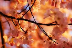 i want to do with what spring does to the cherry trees.