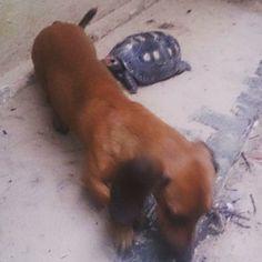 O cachorro do meu namorado (Slinky) e o cagadozinho (Tatá). Slinky tem mania de virar a Tatá de cabeça pra baixo lol Bônus round: última foto Slinky possuído lol #dog #cão # cachorro #turtle #tartaruga #cagado #animals #animais