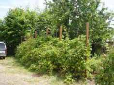 Marionberry hedge being trained to grow up to 9 feet high. The hedge is about six years old.