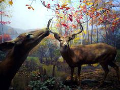 All sizes | White-tailed Deer diorama | Flickr - Photo Sharing!