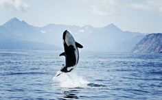 Victory...!!!...Ontario Bans Orca Captivity...Amen... <3 ...Be a Guardian of Life not an owner of Life... <3