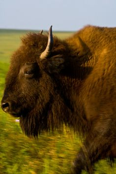 Find out where the buffalo roam in Oklahoma and see these magnificent creatures on the move at one of seven great locations.