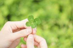 It takes more than a little Irish luck to stay safe from poisonings. Contact the Northern New England Poison Center to learn about which plants could be potentially poisonous to yourself and your pets.