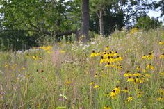 (Grey Headed Coneflower-Ratibida pinnata, Full Sun, Moist to Moderately Dry, Naturalistic Only)