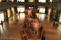 Night in the museum... or better a day - New York City, American Museum of National History... elephants - NYC, Manhattan, USA