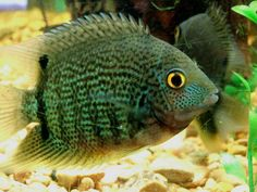Google Image Result for http://randysfishpalace.com/yahoo_site_admin/assets/images/Green_Severum.34202429_large.jpg