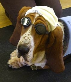 The fact that Basset hounds are so laid back to let you dress them like this. Is one reason why I want one.