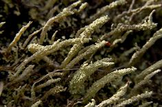 SIARAM :: Cladonias