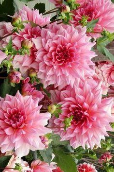 Flowers Nature, Exotic Flowers, Amazing Flowers, Beautiful Roses, Spring Flowers, Beautiful Gardens, Beautiful Flowers, Home And Garden Tv, Pink Garden