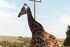 Giraffe South Africa, Giraffe, Wildlife, African, Pictures, Animals, Photos, Giraffes, Animales