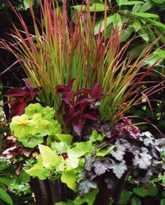Japanese blood grass ( Imperata cylindrical 'Rubra', 'Peach Flambe' heuchera ( Heuchera 'Peach Flambe', Dolce® Licor...