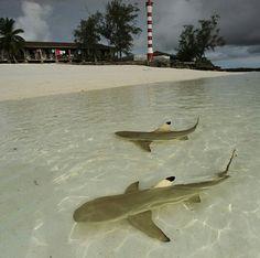 Blacktip reef sharks, Bahamas