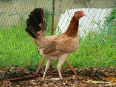 pullet - Google Search