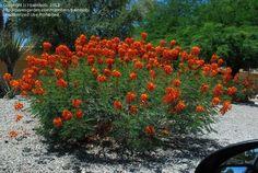 PlantFiles: Picture #99 of Pride of Barbados, Red Bird of Paradise, Dwarf Poinciana, Peacock Flower, flamboyan-de-jardin (Caesalpinia pulcherrima)-xeroscape ideas
