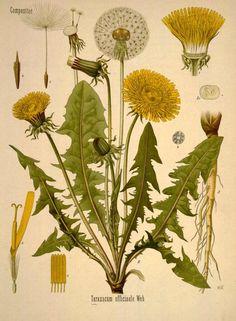 Dandelion botanical print