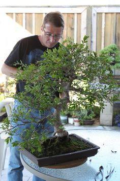 Chinese Elm Guidelines
