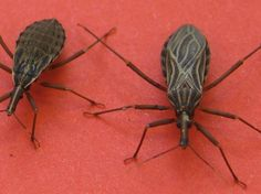 """The disease-causing parasite spread by biting """"kissing"""" bugs has spread beyond the tropical world  http://www.smithsonianmag.com/smart-news/five-facts-know-about-kissing-bugs-and-chagas-disease-180957325/?utm_source=facebook.com&no-ist"""
