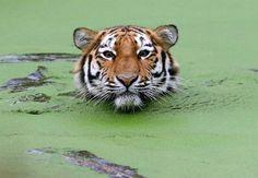 Tigre siberiano nadando em águas cobertas de algas