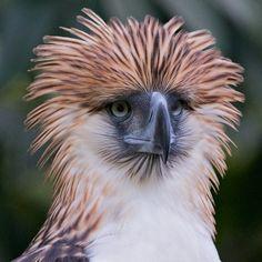 Philippine Monkey-eating Eagle