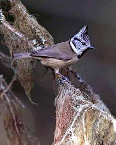 Töyhtötiainen, Parus cristatus - Linnut - LuontoPortti