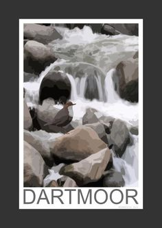 Dipper on a Dartmoor river, Devon (Art Print)