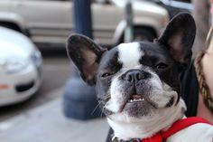 Smiling French Bulldog #animals