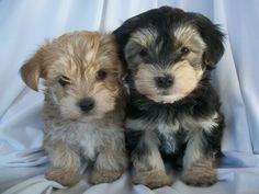 Morkie puppies;  Maltese/Yorkie