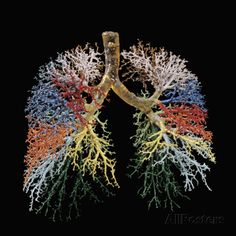 Resin Cast of Lungs, Bronchial Tree Photographic Print by Ralph Hutchings at AllPosters.com