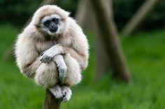 White Handed Gibbon Web