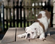 The English bulldog breed is known for the adorable combination of a smushed-looking face, massive head and many wrinkles. They are gentle dogs and prone to overheating. Celebrities who own bulldogs include Adam Sandler and Howard Stern.