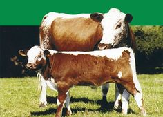 Pin Cattle Breeds Irish Moiled on Pinterest