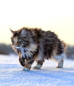 10 Maine Coon #Cat Facts - #Cats Tips & Advice   mom.me