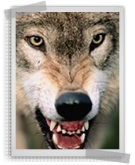 """Controlling predators with an electric fence. We recommend fence posts that are at least 40"""" above ground and a minimum of 6 strands of wire, equally spaced 6 to 8 inches apart.   Wolves and coyotes also dig to reach their prey, which requires the bottom electric wire to be placed not more than 6 inches from the ground.    Since wolves and coyotes have very thick, insulating fur, you'll need a low impedance fence charger that can maintain 4,000 to 5,000 volts on the fence line."""