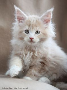 """MC kitten……….THIS IS """"COONEY"""" AND YES, HE IS FROM MAINE…..BUT, HE HAS RELATIVES IN VERMONT AND RHODE ISLAND ALSO……HE VISITS THEM OFTEN 'CAUSE HE LOVES THE COOLER WEATHER……..ccp"""