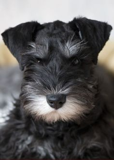 Schnauzer miniature, one pf the bests for apartment.