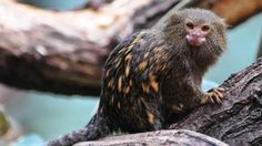 From the moment their young are born, marmosets act as attentive fathers, going so far as to bite off the umbilical cord and clean up the afterbirth.