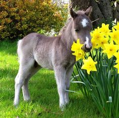 Meet Oberon, a 20-inch foal from Dartmoor's Original Miniature Pony Centre in Devon - ©Apex (via DailyMail)