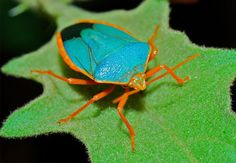 Insects- Turquoise Shield Bug (Edessa rufomarginata) by Bernard Dupont,