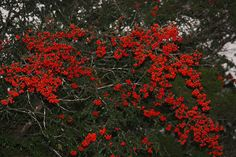 Pyracantha coccinea (Firethorn) in December. The berries last throughout the winter. Semi-evergreen. USDA zone 5.