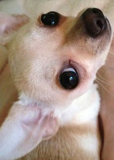 Effective Potty Training Chihuahua Consistency Is Key Ideas. Brilliant Potty Training Chihuahua Consistency Is Key Ideas. Chihuahua Love, Chihuahua Puppies, Cute Puppies, Cute Dogs, Dogs And Puppies, Chihuahuas, Doggies, Baby Animals, Cute Animals