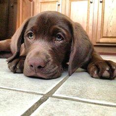 Adorable Dogs, Labradors, Dog Stuff, Puppy Love, Dogs And Puppies, Labrador Retriever, Animals, Image, Animais
