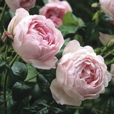 "One of the old english roses that I'm ordering for my special garden. This one is called ""Scepter'd Isle"""