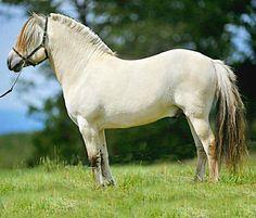 Ulsblakk, buckskin dun, Fjord stallion, Bayshore Simen.